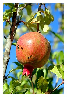 Pomegranate__2008_07_16_h15m45s28